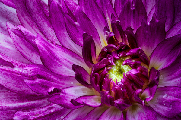 Purple Dahlia by Deb Uscilka