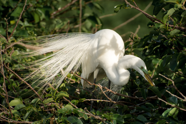Great White Egret 2, Florida by Jack Kleinman