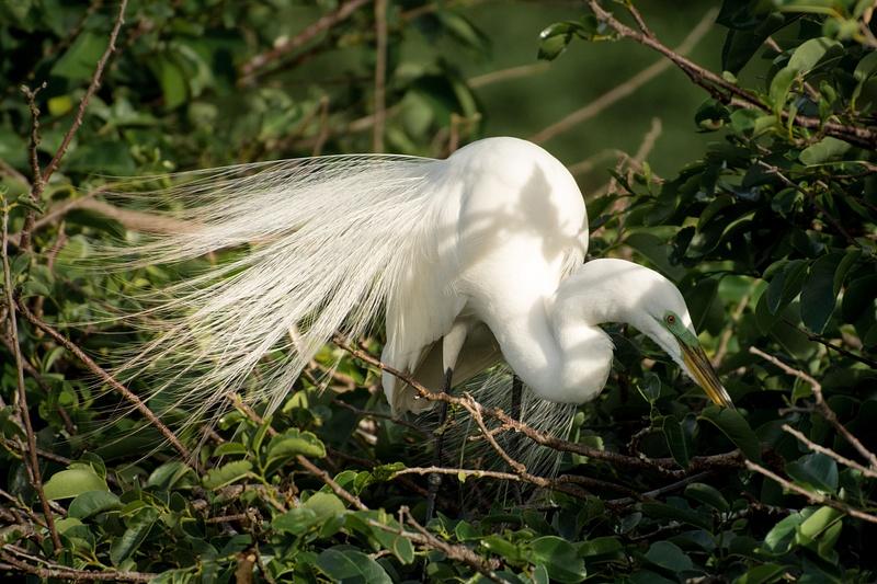 Great White Egret 2, Florida