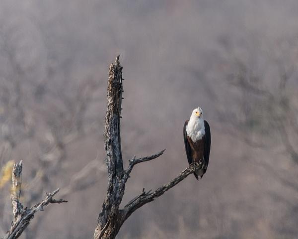 Fish Eagle, Zimbabwe by Jack Kleinman