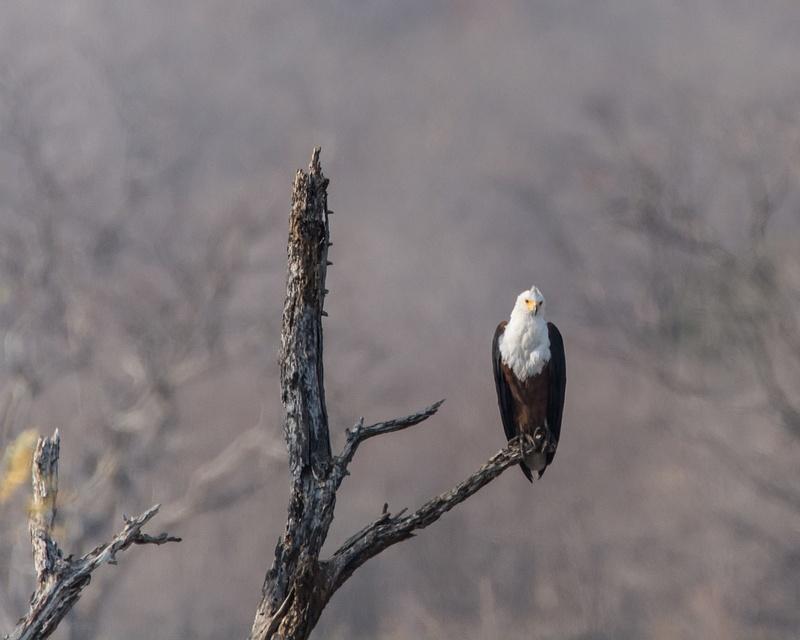 Fish Eagle, Zimbabwe