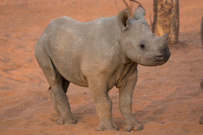 Baby Rhino-Zimbabwe