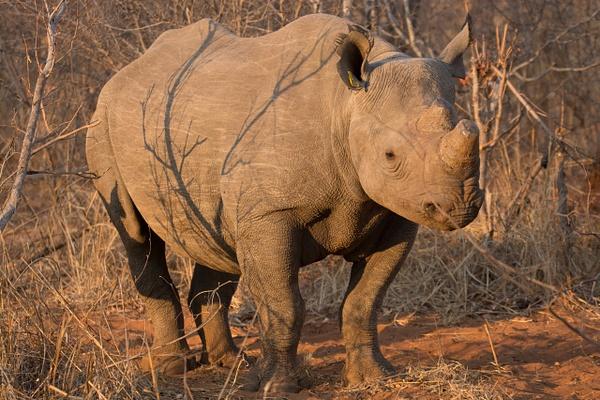 Mommy Rhino, Zimbabwe by Jack Kleinman