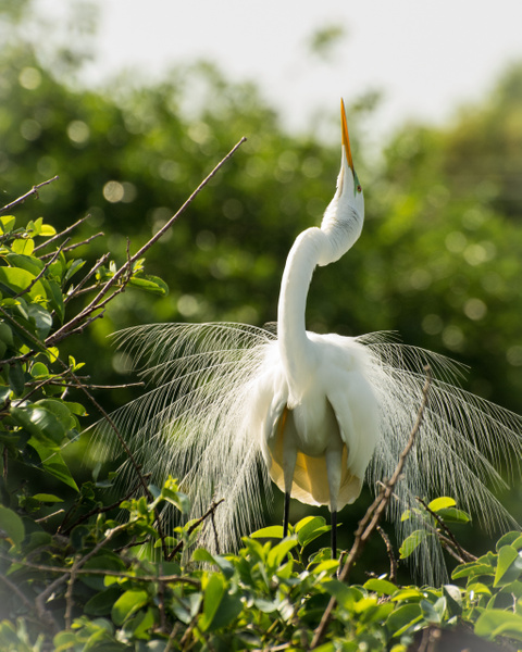 Great White Egret, Florida by Jack Kleinman