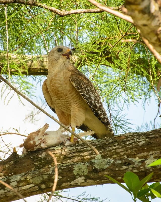 Hawk and Prey, Florida