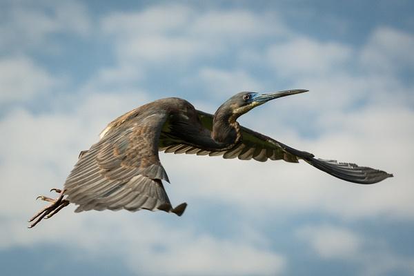 Pterodactyl (Reddish Egret) by Jack Kleinman