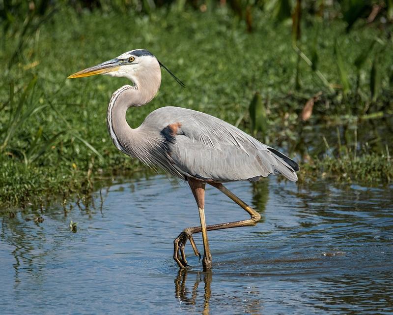 Great Blue Heron-Florida