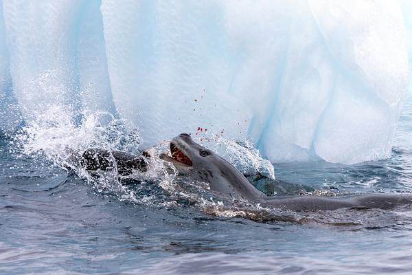 4. GOURDIN ISLAND  (12) - ANTARCTICA - January 2020 - François Scheffen Photography