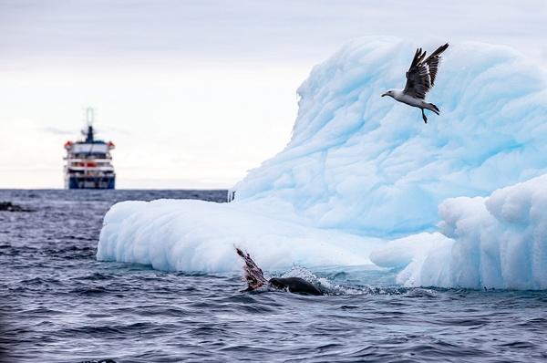 4. GOURDIN ISLAND  (17) - ANTARCTICA - January 2020 - François Scheffen Photography