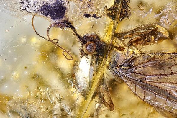 BA010a mantispidae - BALTIC AMBER - François Scheffen Photography