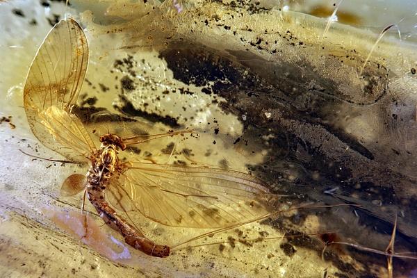 BA013 mayfly - BALTIC AMBER - François Scheffen Photography