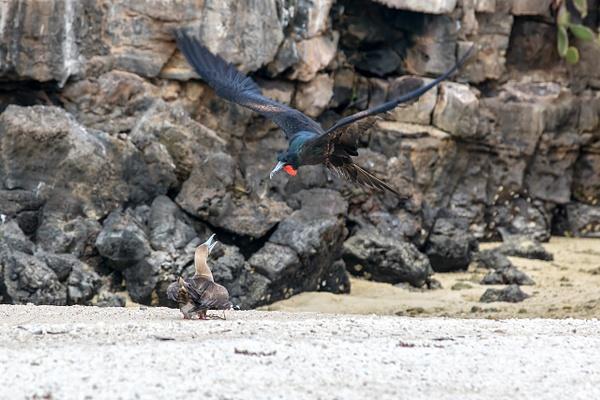 1 - Genovesa - Darwin Bay (8) - GALAPAGOS - May 2017 - François Scheffen Photography