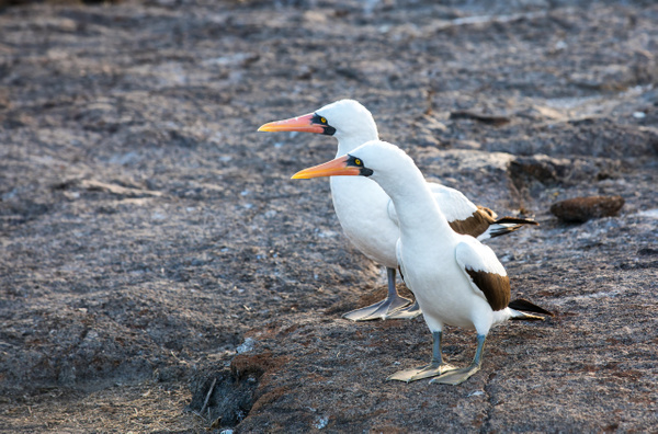 2 - Genovesa - Prince Philip's Steps  (5) - GALAPAGOS - May 2017 - François Scheffen Photography
