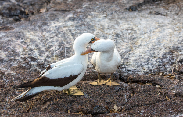 2 - Genovesa - Prince Philip's Steps  (13) - GALAPAGOS - May 2017 - François Scheffen Photography
