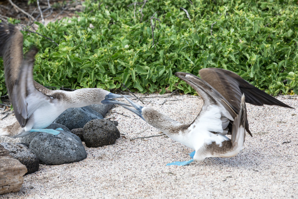 3 - North Seymour  (23) - GALAPAGOS - May 2017 - François Scheffen Photography