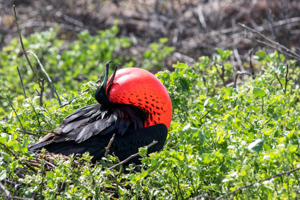 3 - North Seymour  (24) - GALAPAGOS - May 2017 - François Scheffen Photography