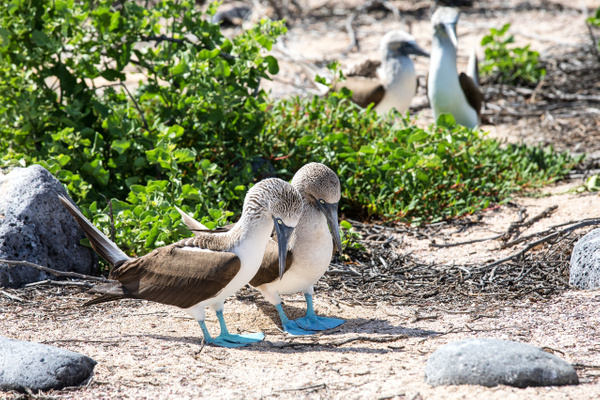 3 - North Seymour  (25) - GALAPAGOS - May 2017 - François Scheffen Photography