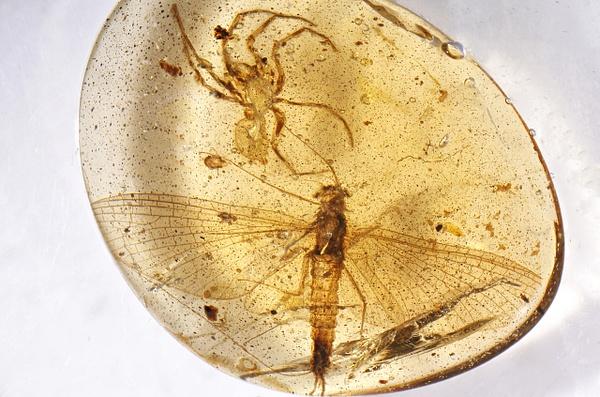 BU141 mayfly - Ephemeroptera - Mayfly - François Scheffen Photography