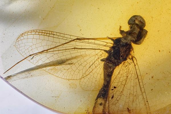 BU248 mayfly hexagenitidae - Ephemeroptera - Mayfly - François Scheffen Photography