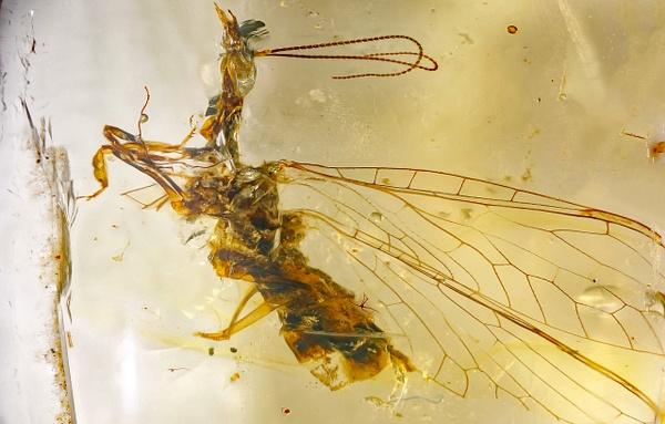 BU032 raphidiidae - Neuropterida - François Scheffen Photography