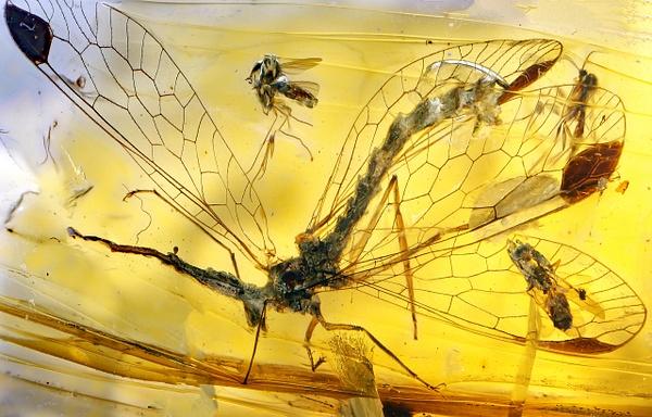BU055 raphidiidae - Neuropterida - François Scheffen Photography