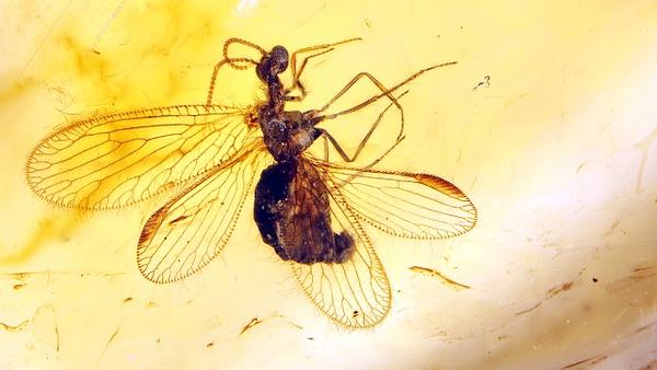 BU064 berothidae - Neuropterida - François Scheffen Photography