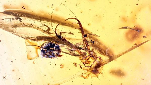 BU082 larva neuroptera - Neuropterida - François Scheffen Photography