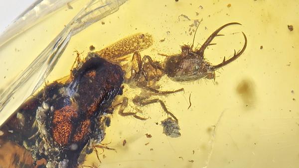 BU112 larva nymphidae - Neuropterida - François Scheffen Photography