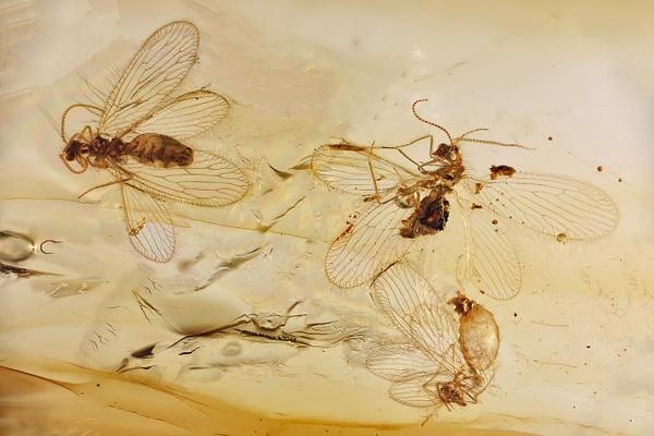 BU137a berothidae - Neuropterida - François Scheffen Photography