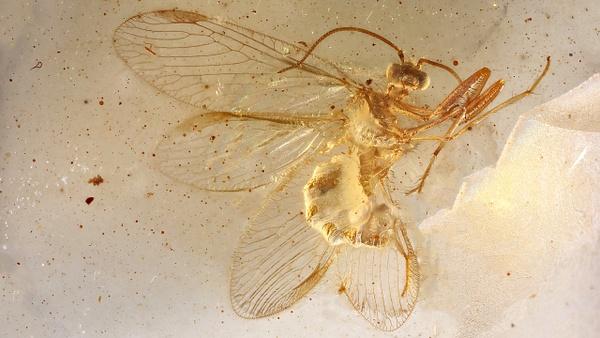 BU168 mantispidae - Neuropterida - François Scheffen Photography