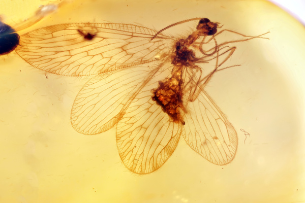 BU193 berothidae - Neuropterida - François Scheffen Photography
