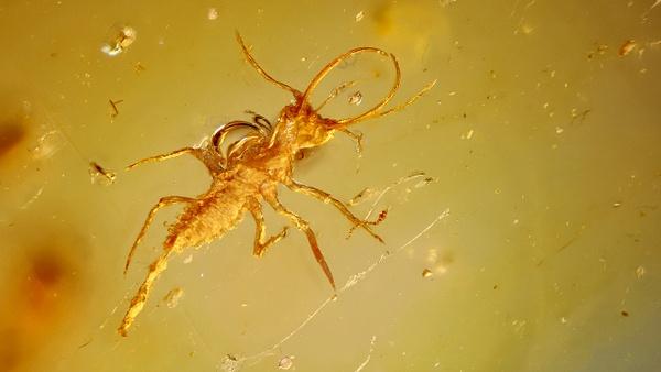 BU207-al neuroptera larvea - Neuropterida - François Scheffen Photography