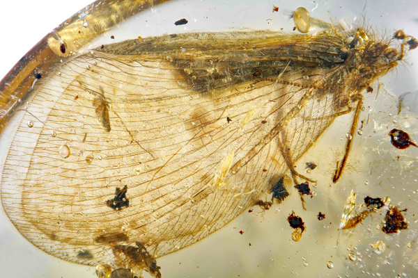 BU246-al 1 ascalaphidae - Neuropterida - François Scheffen Photography