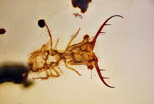BU237 larva myrmeleontidae - Neuropterida - François Scheffen Photography