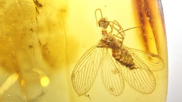 BU251-al berothidae - Neuropterida - François Scheffen Photography