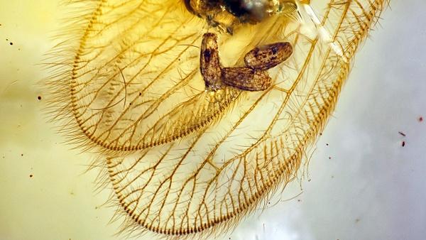 BU255-al 2 berothidae - Neuropterida - François Scheffen Photography