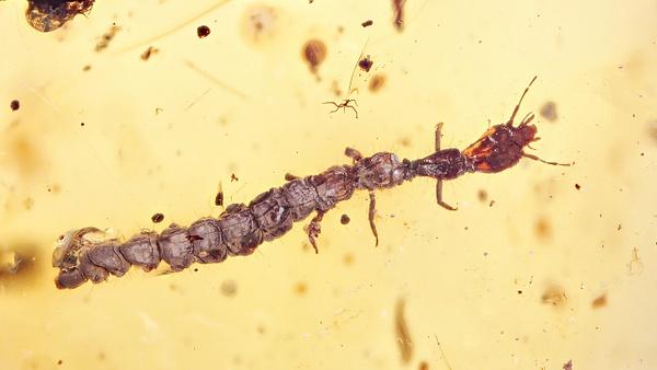 BU265 larva raphidioptera - Neuropterida - François Scheffen Photography
