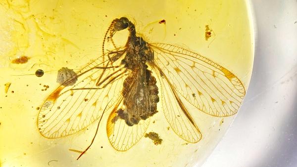 BU271-al berothidae - Neuropterida - François Scheffen Photography