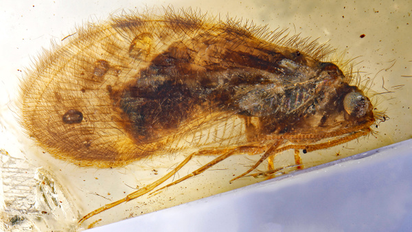 BU275 sisyridae - Neuropterida - François Scheffen Photography