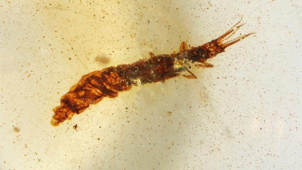 BU308 larva nevrorthidae - Neuropterida - François Scheffen Photography
