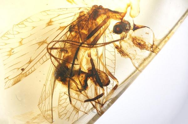 BU353 osmylidae to check - Neuropterida - François Scheffen Photography
