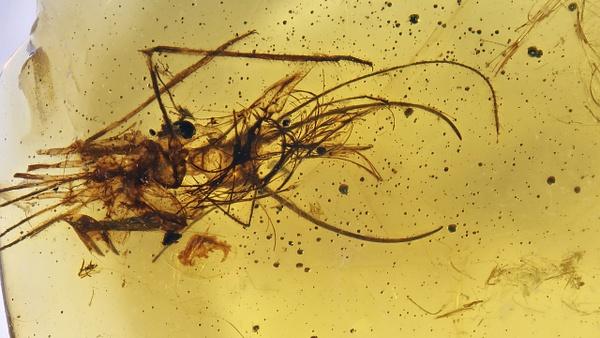 BU365 larva neuroptera - Neuropterida - François Scheffen Photography