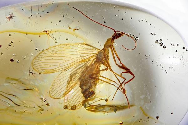 BU377 mantispidae - Neuropterida - François Scheffen Photography