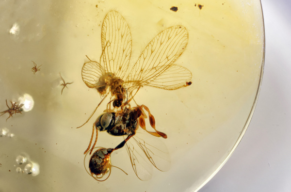BU396 neuroptera vs ensign wasp - Neuropterida - François Scheffen Photography