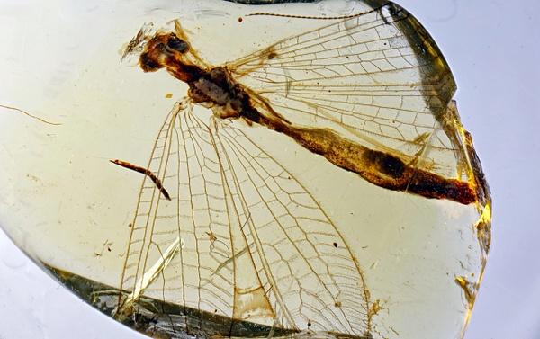 BU421 babinskaiidae - Neuropterida - François Scheffen Photography