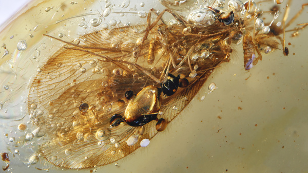 BU321 sisyridae - Neuropterida - François Scheffen Photography