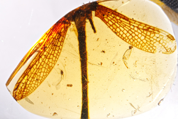 BU111 caenagrion - Odonata - François Scheffen Photography