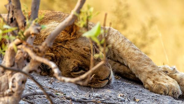 BOTSWANA (6) - AFRICA  - Lions - François Scheffen Photography