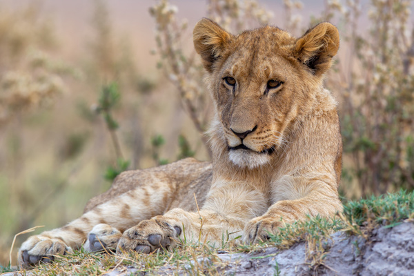 BOTSWANA (7) - AFRICA  - Lions - François Scheffen Photography