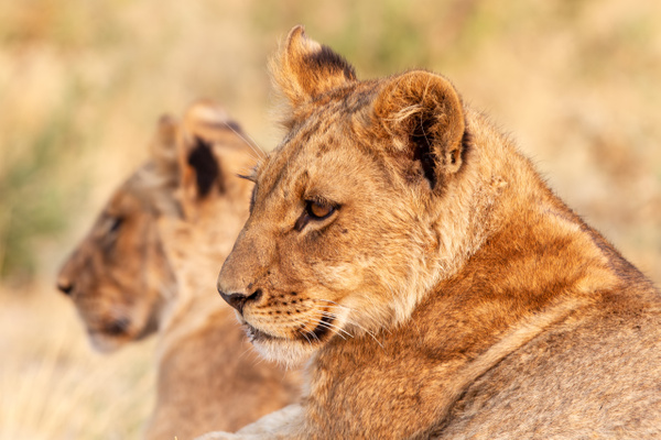 BOTSWANA (1) - AFRICA  - Lions - François Scheffen Photography